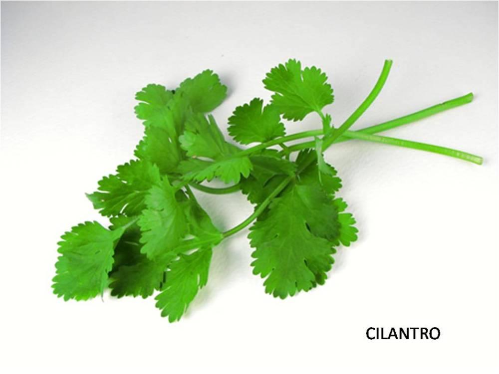 cilantro1